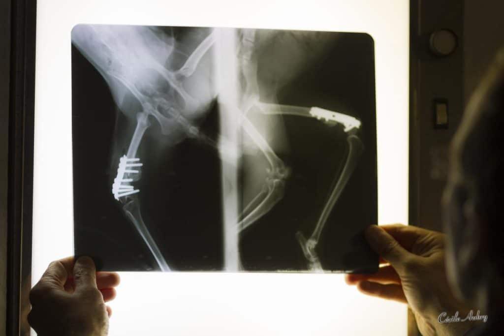 Radiographie clinique vétérinaire