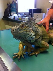 Iguane en consultation